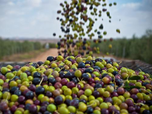 (Français) Les exportations d'huile d'olive hissent la Tunisie au 1er rang mondial